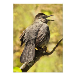 Gray Catbird Singing His Song Poster