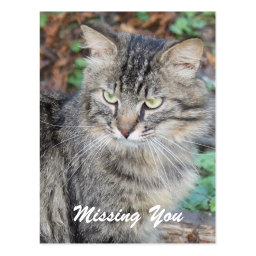 Gray Kitty Missing You Postcard