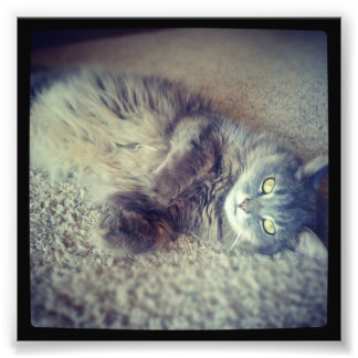 Gray Long-Haired Cat-Instagram by Shirley Taylor Photo Print