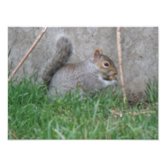 Gray Squirrel in the Grass Photo Print