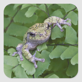 Gray tree frog on fern, Canada Square Sticker