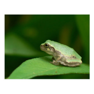 Gray Tree Frog Postcard. Postcard