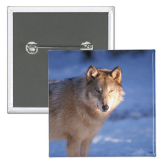gray wolf, Canis lupus, in the foothills of 15 Cm Square Badge