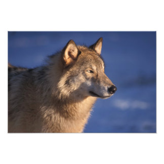 gray wolf, Canis lupus, in the foothills of 2 Photographic Print