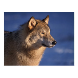 gray wolf, Canis lupus, in the foothills of 2 Postcard