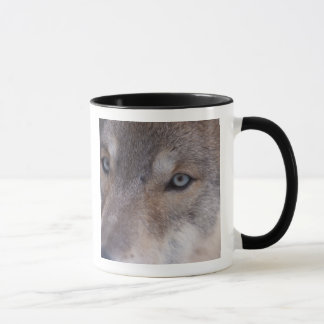 gray wolf, Canis lupus, in the foothills of the Mug