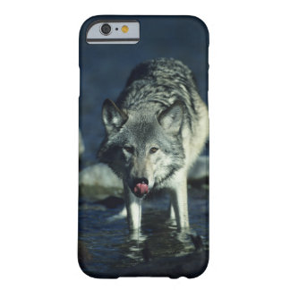 Gray wolf in Autumn drinking Barely There iPhone 6 Case