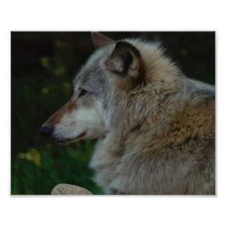 Gray Wolf photo