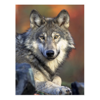 Gray Wolf Photo Postcard
