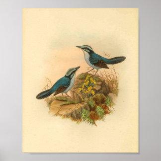 Gray's Todopsis Wren Blue Bird Vintage Print