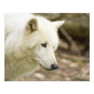 graywolf photo