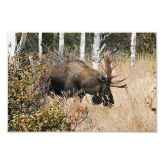 Grazing Bull Moose Photo Print