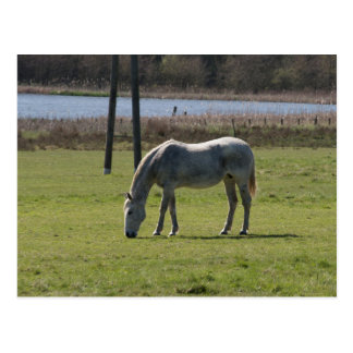 Grazing Horse Postcard