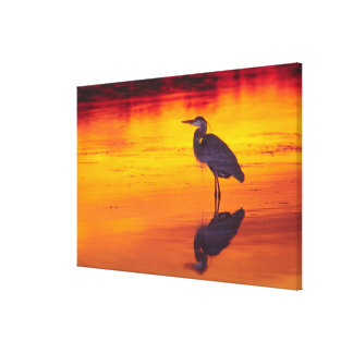 Great Blue Heron (Ardea herodias) fishing at Canvas Print