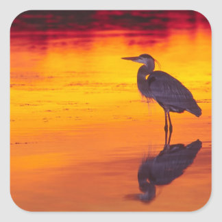 Great Blue Heron (Ardea herodias) fishing at Square Sticker