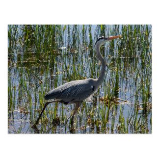 Great Blue Heron Bird Marsh Postcard
