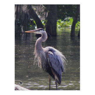 Great Blue Heron Fishing for Lunch Postcard
