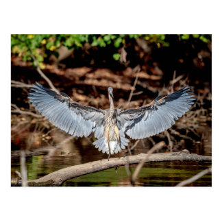 Great Blue Heron on a log Postcard