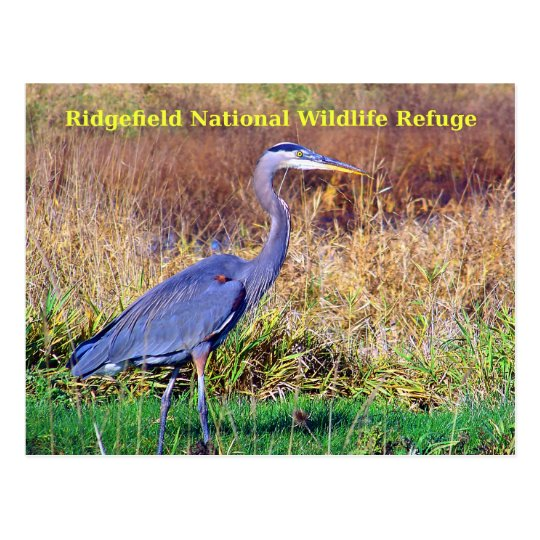 Great Blue Heron Postcard