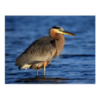 Great Blue Heron wades in the blue waters Postcard