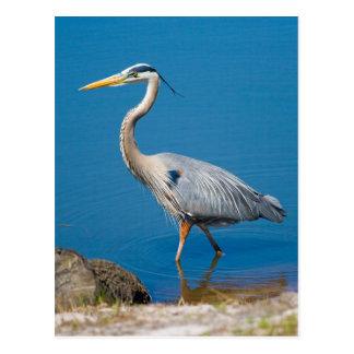Great Blue Heron Wading Postcard