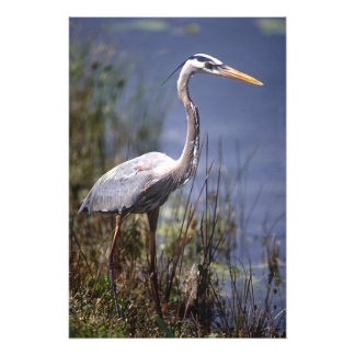 Great Blue Heron water bird found throughout Photo Print