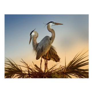 Great Blue Herons at Sunrise Postcard