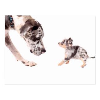 Great Dane and chihuahua Postcard