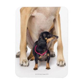 Great Dane and Dachshund portrait Magnet