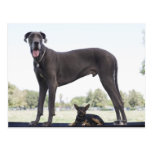 Great dane and small mixed-breed dog postcard