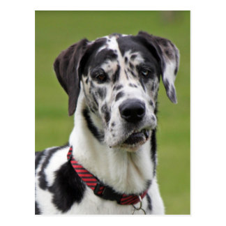Great Dane dog harlequin beautiful photo portrait Postcard