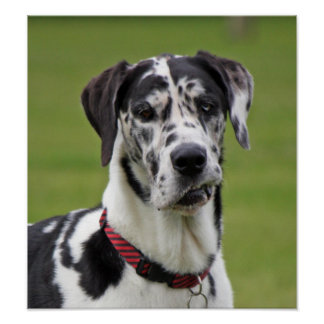 Great Dane dog harlequin beautiful photo print