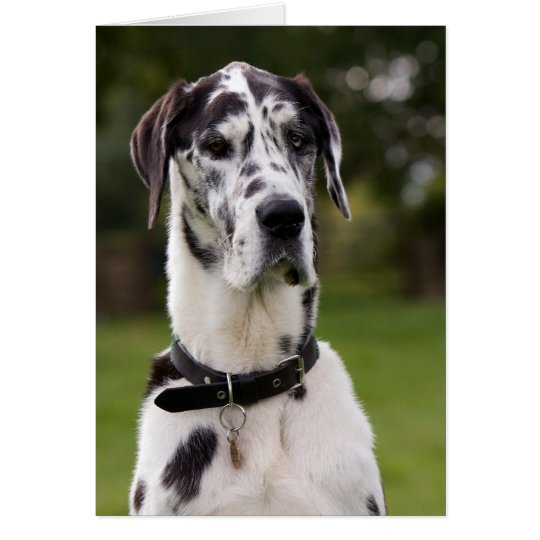 Great Dane dog portrait greetings card