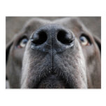 Great Dane Nose Post Cards