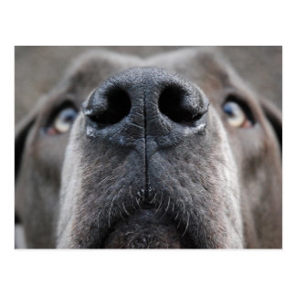 Great Dane Nose Postcard