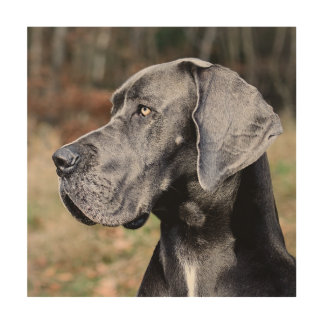 Great-dane portrait wood print