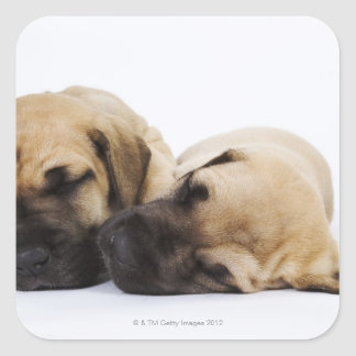 Great Dane puppies sleeping side by side in Square Sticker
