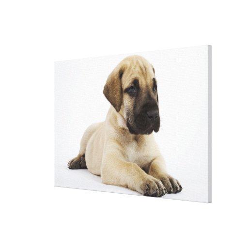 Great Dane puppy Lying in Studio Canvas Print