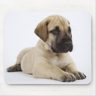 Great Dane puppy Lying in Studio Mouse Pad