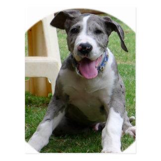 Great Dane Puppy Postcard