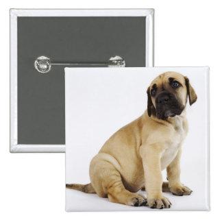 Great Dane Puppy Sitting in Studio Pinback Buttons