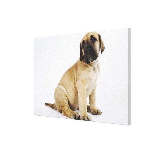 Great Dane Puppy Sitting in Studio Canvas Prints
