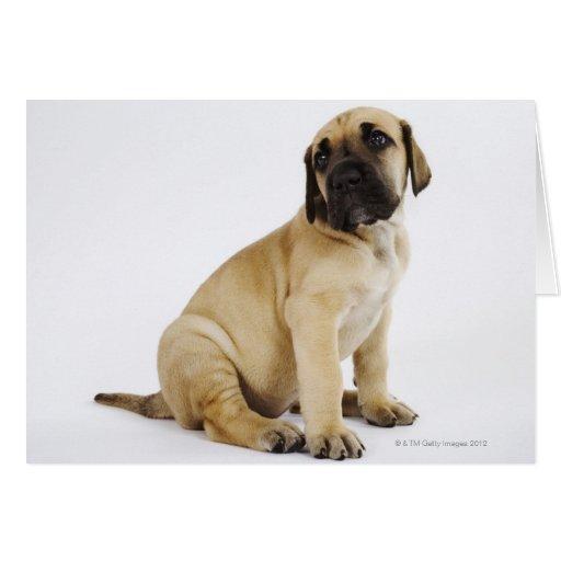 Great Dane Puppy Sitting in Studio Card