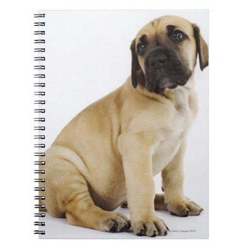 Great Dane Puppy Sitting in Studio Spiral Notebooks