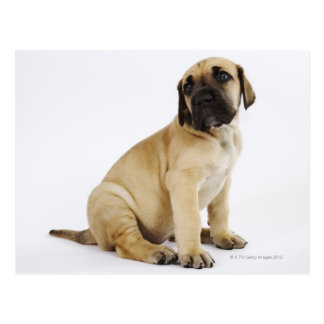 Great Dane Puppy Sitting in Studio Postcard