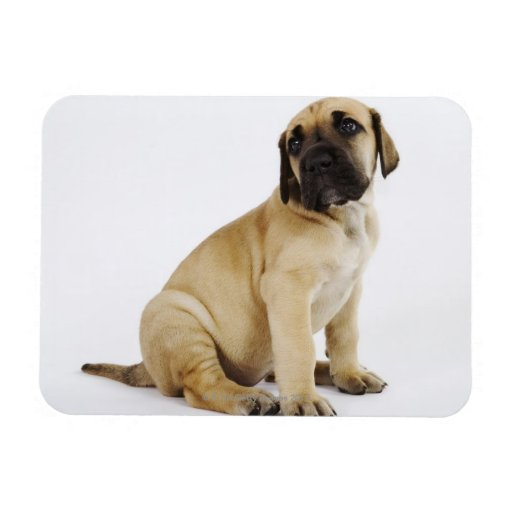 Great Dane Puppy Sitting in Studio Flexible Magnet
