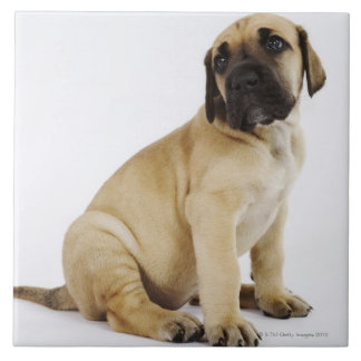 Great Dane Puppy Sitting in Studio Large Square Tile