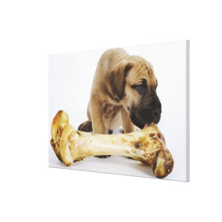 Great Dane puppy with bone in studio Stretched Canvas Prints