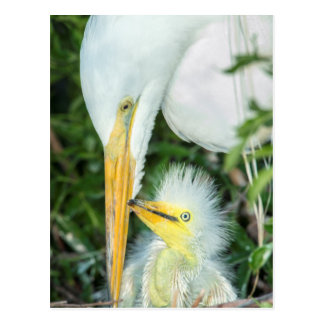 Great Egret and baby egret at Gatorland Postcard
