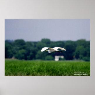 Great Egret in flight - Poster